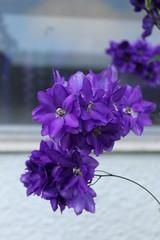 2014 Garden (RebeccaLisaB) Tags: purple delphinium perennial