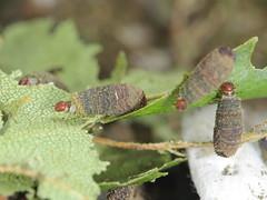 Cryptocephalus parvulus larvae - 3rd instar (Scrubmuncher) Tags: chrysomelidae cryptocephalus casebearinginsect beetle coleoptera larvae larva
