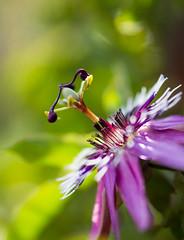 Passiflora (-CyRiL-) Tags: macro passiflore cyrilbkl cyrilnovello