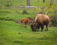 Bison_YNP_1778_05_23_14_resized (profman_wildlife_photos) Tags: park nature canon buffalo wildlife national 7d yellowstonenationalpark l yellowstone np bison 70200mm yellowstonenp canon70200mml canon7d
