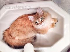 Wellcome home tin opener (LETHO 2706) Tags: cat bella photographyartbysnech
