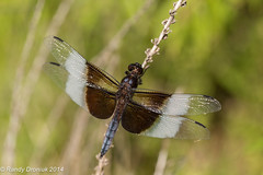 Widow Skimmer mature male (rdroniuk) Tags: insect dragonflies dragonfly insects insectes widowskimmer libellulaluctuosa libellules widowskimmerdragonfly libellulemélancolique dragonfliesofontario