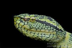 Tropidolaemus wagleri IMG_2526 copy (Kurt (OrionHerpAdventure.com)) Tags: reptile snake serpent viper reptiles herps herpetology reptilia reptilian viperidae pitviper herpetofauna herping waglerspitviper tropidolaemuswagleri tropidolaemus tropicalreptiles