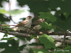 1.29496 Bruant familier / Spizella passerina passerina / Chipping Sparrow (Laval Roy) Tags: roy birds canon quebec aves laval oiseaux chezmoi sillery chippingsparrow passeriformes spizellapasserina villedequbec noflashused comportement bruantfamilier eos7d embrizids ef300mm14lisextender14xiii