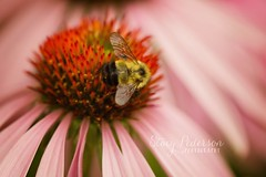 coneflower_bee (Stacy Pederson Photography) Tags: macro bee flowermacro beemacro stacypedersonphotography