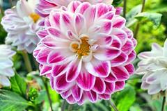 f1 (Jose pirata) Tags: flowersarebeautiful excellentsflowers natureselegantshots thebestofmimamorsgroups onlythebestofflickr