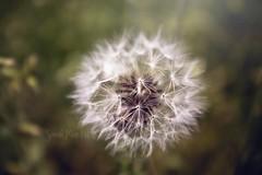 Just Dandy (The Wanderlust Wildflower) Tags: dandelion dandy makeawish wishy