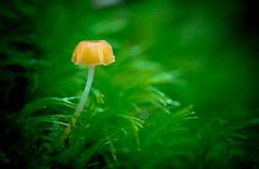 _DSC3144.jpg (Boy of the Forest) Tags: world macro nature mushroom beautiful amazing nikon earth unique 11 fungi fungus environment tamron magnificent d800 tamron90mm cicanese boyoftheforest boyoftheforest mattcicanese matthewcicanese