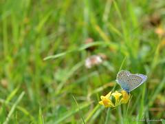 Schmetterling (Frank Guschmann) Tags: nikon wiese schmetterlinge commonbluebutterfly britzergarten d7100 frankguschmann nikond7100