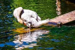 Swan and Turtle (Gabriel Mirasol) Tags: travel usa public animal boston america 35mm garden lens outdoors prime nikon day wildlife massachusetts united crop states nikkor 18 dx d5200