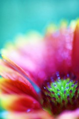 Hidden Gem (j man.) Tags: life lighting light flower macro texture nature floral beautiful rain vertical composition lens photography droplets petals drops cool focus dof blossom bokeh pov background sony details dream favorites clarity blurred 11 depthoffield pointofview sp ii views di if dreamy f2 tamron gaillardia tones hue freinds comments ld slt jman macrophotography hiddengem af60mm flickrbronzetrophygroup a65v