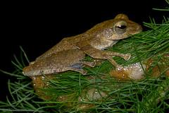 Four-lined Tree Frog, Polypedates leucomystax (Anthony Kei C) Tags: polypedatesleucomystax fourlinedtreefrog