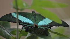 Schmetterling / Butterfly / Papillon   >Papilio palinurus< (BonsaiTruck) Tags: butterfly papillon unknown falter mariposa schmetterling emsflower emsbüren gartenwelt schmetterlingswelt