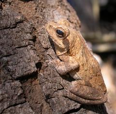 Chiromantis tandyi (Sylvère Corre) Tags: tanzania frogs tarangire chiromantis tandyi