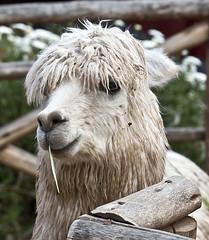 Alpaca (deepchi1) Tags: alpaca peru inca valley sacred sacredvalley incan