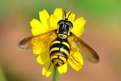 DSC_1212 (sylvette.T) Tags: macro nature insecte 2014 chrysotoxum nikond5100 objectifsigma70200