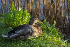 Sunset Light (Carla Cometto) Tags: sunset lake nature grass animal switzerland duck europe luzern lucerne