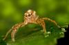 MMB_7532 (mmariomm) Tags: macro spider jumping spiders festiva mpe salticidae palp telamonia