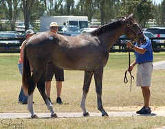 Moscow Jet (Shazstock) Tags: horse black grey bay mare gray racing chestnut colt stallion thoroughbred equine filly