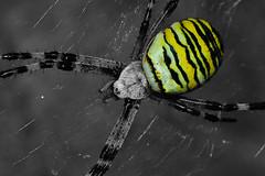 Yellow (Baumgartchristophe@gmail.com) Tags: bw france macro jaune zoom crochet alsace montage couleur argiope sauvage arachnide frelon cadrage