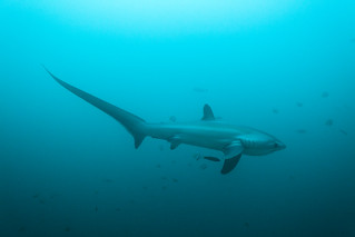 Thresher Shark!