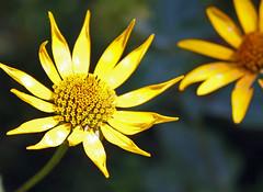 Smooth Oxeye (TomIrwinDigital) Tags: ontario algonquin wildflower oxeye