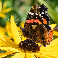 Red Admiral (frcrossnacreevy) Tags: redadmiral 1001nights greatphotographers 1001nightsmagiccity greaterphotographers greatestphotographers olympusem1