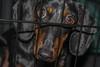 IMG_9913 (salt107) Tags: trip dog look car puppy see eyes kevin ride dachshund sit crate blackandbrown