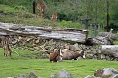 Blessbock (Michael Döring - thx for 20.000.000 views) Tags: zoo bismarck gelsenkirchen zoomerlebniswelt blessbock
