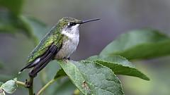 A female Ruby-throated Hummingbird