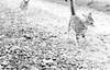 Yesterday (Timoleon Vieta II) Tags: cats white black cat walking key little low kittens baku goldie timoleon