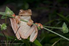 Rhacophorus pardalis IMG_3651 copy (Kurt (OrionHerpAdventure.com)) Tags: flying amphibian frog frogs tropical amphibians treefrog harlequin herp herps herpetology amphibia herpetofauna herping rhacophoridae rhacophorus tropicalfrogs rhacophoruspardalis harlequinflyingfrog
