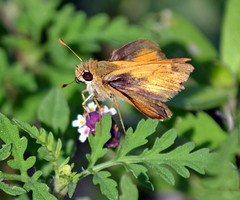 Tawy-edged Skipper: Polites themistocles (Stan in FL) Tags: county usa moon nature butterfly flying florida wildlife skipper butterflies conservation insects half area fl sumter polites themistocles tawyedged