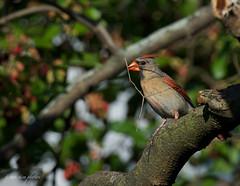 Female Cardinal ~ Cardinalis cardinalis ~ Michigan (urban) (j van cise photos) Tags: bird cardinal michigan perchingbird cardinaliscardinals afsnikkor70200mmf28gedvrii continentalunitedstates nikond7100