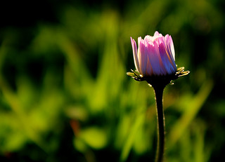 Sleeping spring daisy