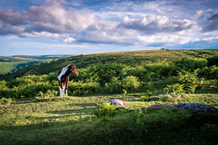 Foal on Dartmoor (ldscp) Tags: dartmoor foal wildhorse wildpony dartmoorpony moorland moors landscape devon uk greatbritain beautifulcountryside clouds bluesky skyscape landscapephotographer landscapephotography fujifilm fujifilmx xf18mm 18mm fuji xpro1 xpro ferns rolling hills rollinghills hillside walking fells ambling rambling equestrian hacking hack