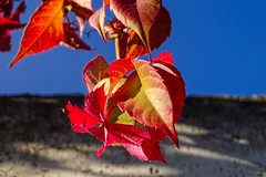 Red and Blue (nicoheinrich86) Tags: nature natur details bokeh blatt rot red leaf