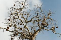 DSC07449_DxO_Bildgröße ändern (Jan Dunzweiler) Tags: madagaskar africanbikers reniale renialareserve jandunzweiler baobab affenbrotbaum
