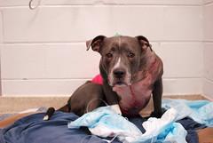 (John Donges) Tags: blue hero dog pet shot injured veterinary hospital patient veterinarians care icu 7258