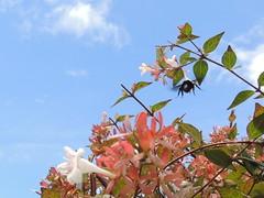 céu azul, terra florida (Márcio100) Tags: céu azul nuvem marcio100 natureza flores brilho bright mamangava sol marcioalves