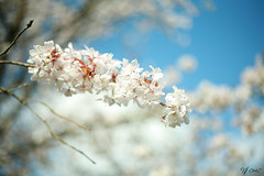 ClyneGardens (vinujoseph1) Tags: whiteflower flower white clyne clynegardens swansea canon canon5d 5d sunlight summerday sky bluesky