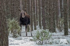 European Moose (fascinationwildlife) Tags: animal mammal wild wildlife winter snow nature natur national park biebrza poland polen forest tree elk moose cow female elch elusive shy