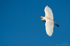 Erratic Behavior (ac4photos.) Tags: egret inflight bird nature wildlife animal florida naturephotography birdphotography inflightbirdphotography wildlifephotography animalphotography nikon d500 tamron150600mm ac4photos ac erraticbehavior