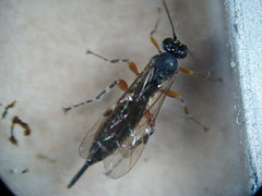 Ichneumon - Itoplectis maculator (Fred's Uncle) Tags: bixleywood ichneumon insect