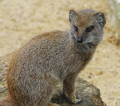 D9979.  Yellow Mongoose. (Ron Fisher) Tags: mongoose africaalive kessingland lowestoft suffolk eastanglia animal zoo england gb greatbritain uk unitedkingdom europe pentax pentaxkx