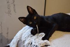Kitten (lucreciaef) Tags: kitten cat kitty blackcat babycat bed playful cute sweet