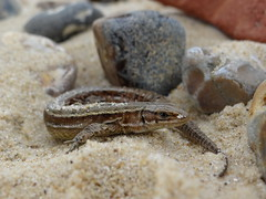 Common lizard (Steph-nine) Tags: covehithe coast suffolk commonlizard retile nature wildlife