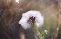 soffice soffione (Photo Luc@) Tags: fiore soffione nuvola canon 6d ff vintage lens allaperto verde closeup light relax bokeh art creativity f28 beautiful 85mm