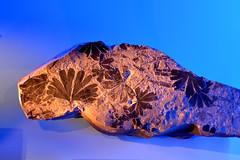 Swedish Museum of Natural History - Naturhistoriska riksmuseet (Stockholm, 20170312) (RainoL) Tags: 2017 201703 20170312 d5200 frescati geo:lat=5936866897 geo:lon=1805349827 geotagged indoors march museum naturhistoriskariksmuseet stockholm stockholmslän swe sweden swedishmuseumofnaturalhistory fossil plant leaf