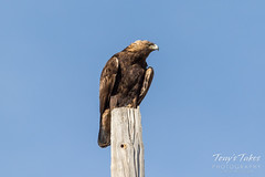 A wary, watchful Golden Eagle